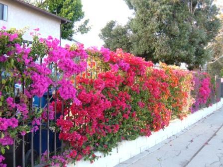 Bunga Mawar Rumah Idolaku