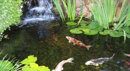 kolam ikan di belakang rumah menng shuiurut fe